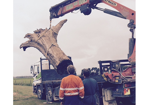 Delivery of the stump from the Waihao River.